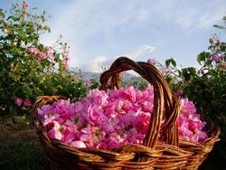 Болгарские розы, розовое масло