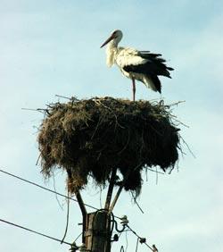 наблюдение за птицами, аист