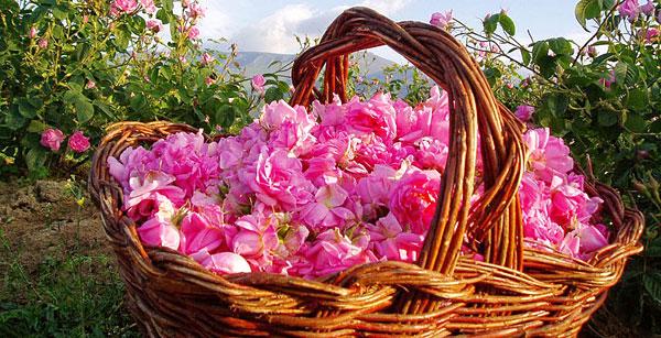 масло болгарской розы