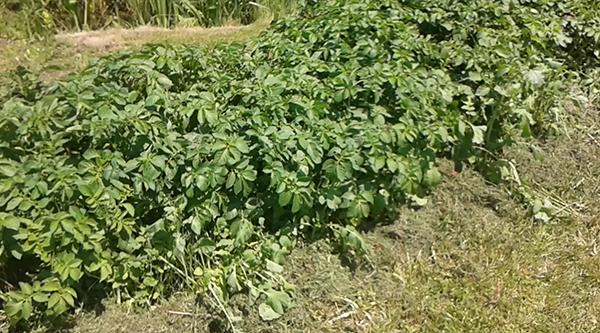 Картофельная грядка