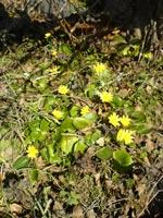 Весна в Страндже - колеостефус