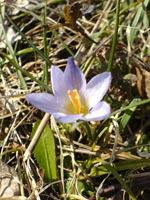 Весна в Страндже - подснежник