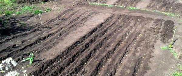 Посев гороха и кукурузы