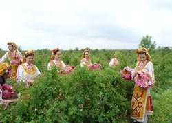 Фестиваль в долине роз - сбор лепестков